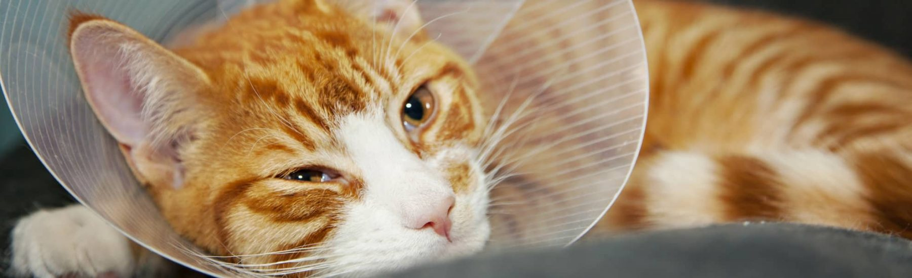 Ginger striped cat wearing a cone