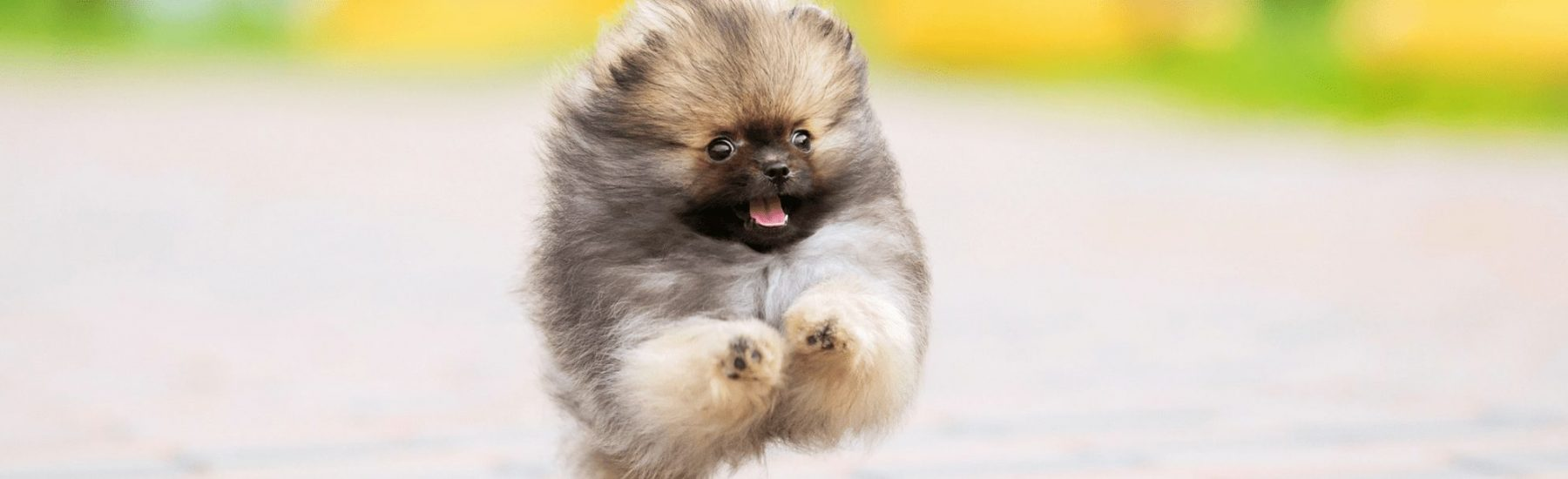 Fluffy Pomeranian dog running