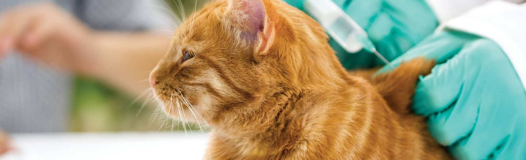 Ginger cat receiving a vaccination