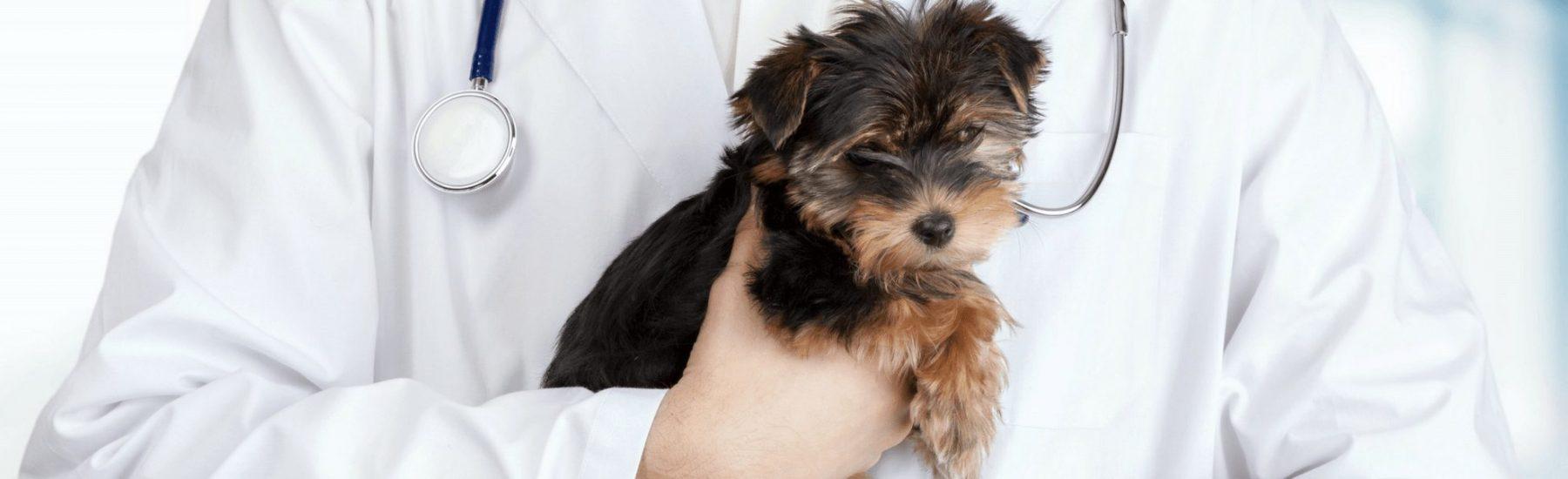 Cute puppy behind held by a vet