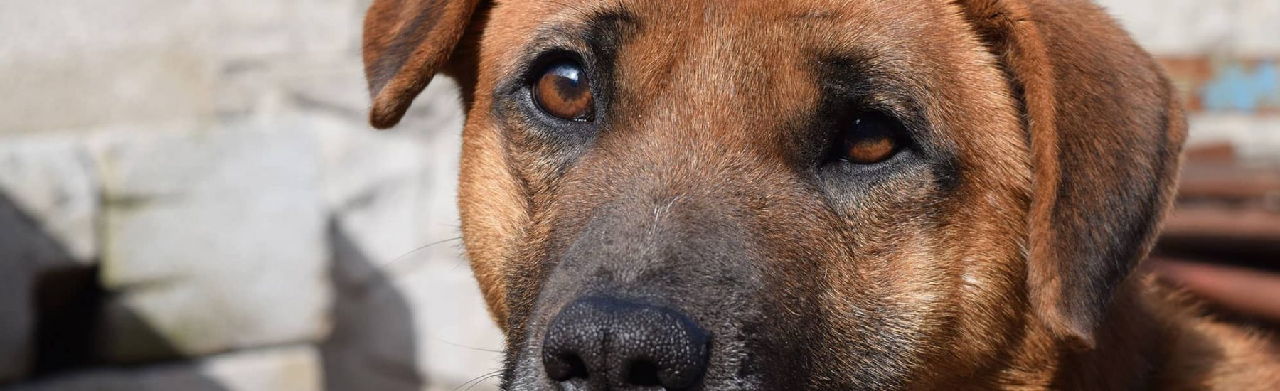Close up of a brown dog