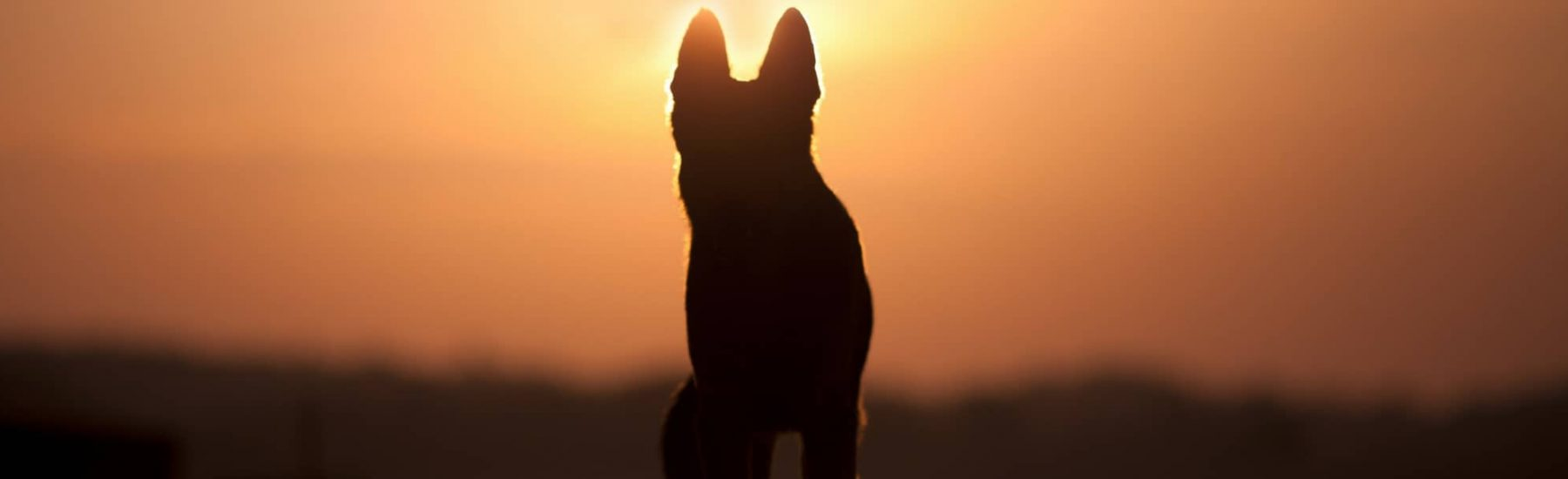 Dog during sunset