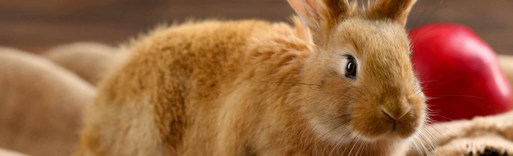 Ginger rabbit